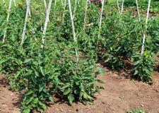 Piante di pomodori nel giardino dell'agricoltore Immagini Stock Libere da Diritti