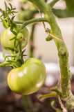 Piante di pomodori nella piantagione dei pomodori di verde della serra Fotografie Stock Libere da Diritti