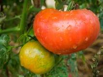 Piante di pomodori organiche del manzo sull'azienda agricola Fotografie Stock