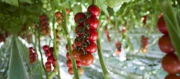 Piante di pomodori in serra Fotografia Stock