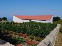 Piante di pomodori in un orto domestico Immagine Stock Libera da Diritti