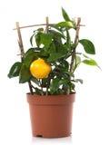 Piante di POT della pianta dell'agrume del limone immagine stock libera da diritti