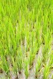 Piante di riso che crescono in acqua Fotografie Stock
