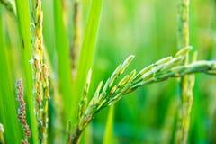 Piante di riso che crescono nella campagna della Tailandia Fotografia Stock Libera da Diritti