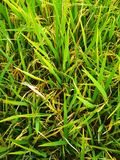 Piante di riso che raccoglieranno l'immagine Fotografia Stock