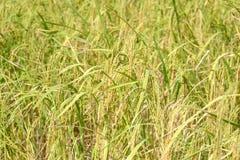 Piante di riso che stanno andando raccogliere fotografia stock libera da diritti