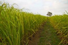 Piante di riso in Paddy Field Immagine Stock