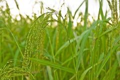 Piante di riso in Paddy Field Fotografia Stock