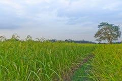 Piante di riso in Paddy Field Immagini Stock Libere da Diritti