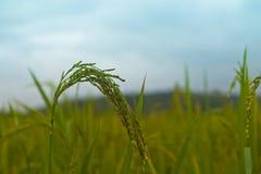Piante di riso in Paddy Field Immagini Stock