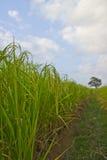 Piante di riso in Paddy Field Fotografie Stock