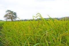 Piante di riso in Paddy Field Fotografia Stock Libera da Diritti