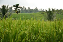 Piante di riso in un campo Fotografia Stock