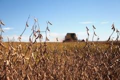 Piante di soia al raccolto Fotografia Stock