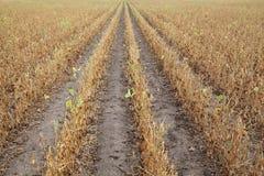 Piante di soia nel campo Immagini Stock Libere da Diritti