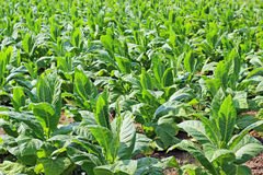 Piante di tabacco Fotografia Stock Libera da Diritti