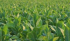 Piante di tabacco Fotografia Stock