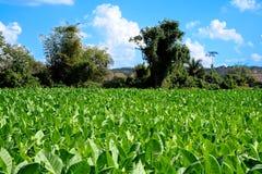 Piante di tabacco verdi su un campo. Immagini Stock