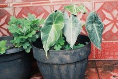 piante di taro che ornano il giardino della casa fotografia stock