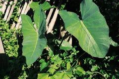 piante di taro che si sviluppano selvagge in natura fotografia stock