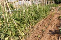 Piante di Tomatoe in un frutteto Fotografie Stock Libere da Diritti