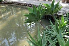 Piante di Vera dell'aloe nel giardino Fotografie Stock