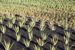 Piante di Vera dell'aloe sul campo nel Nord di Lanzarote Fotografia Stock Libera da Diritti