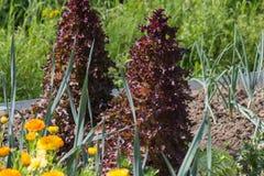 piante di verdure su un giardino del cottage fotografia stock libera da diritti