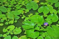 Piante di Waterlily Fotografia Stock