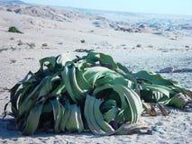 Piante di Welwitschia nel Namibia Immagine Stock Libera da Diritti