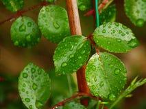 Piante dopo la foglia di verde della pioggia immagini stock