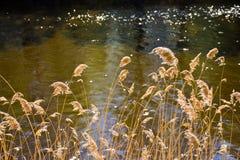 piante dorate asciutte chiamate nel cortaderia latino al primo sito ed al fiume luminoso dietro le piante Il cordateria è acceso  immagine stock libera da diritti