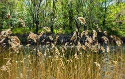 piante dorate asciutte chiamate nel cortaderia latino al primo sito ed al fiume luminoso dietro le piante Sui precedenti c'è fotografie stock