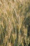Piante dorate del grano Fotografie Stock