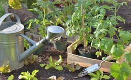 Piante e lattuga di pomodori in una cassa in un orto alla piantatura fotografia stock libera da diritti
