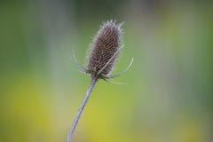 Piante e natura - cardo selvatico della primavera Fotografia Stock Libera da Diritti