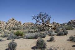 Piante e rocce in Joshua Tree NP Fotografia Stock
