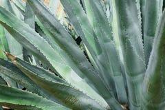 Piante enormi dell'agave Fotografia Stock Libera da Diritti