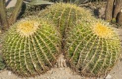 Piante esotiche. (cactus) Immagini Stock Libere da Diritti