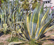 Piante esotiche. (cactus) Fotografia Stock