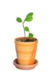 Piante in flowerpot Fotografia Stock