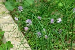 Piante fresche dell'allium schoenoprasum della erba cipollina e cipolle di inverno delle cipolle verdi della molla in un giardino Immagine Stock