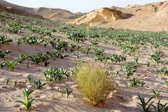 Piante fresche sulla sabbia del deserto, Giordania Fotografia Stock