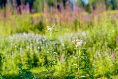 Piante germoglianti e di fioriture rosa di Valeriano dalla fine Fotografia Stock Libera da Diritti