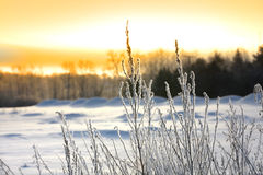 Piante ghiacciate Fotografia Stock