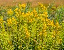 Piante gialle cariche di fioritura selvatiche gialle dalla fine Fotografie Stock