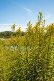 Piante gialle cariche di fioritura selvatiche gialle dalla fine Immagini Stock Libere da Diritti