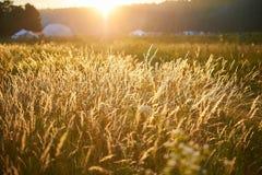 Piante gialle dorate nei raggi del tramonto di estate al festival etnico Immagini Stock Libere da Diritti