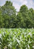 Piante giovani in un campo di cereale Fotografia Stock Libera da Diritti