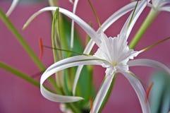 Piante - littoris di hymenocallis - fiori Immagini Stock Libere da Diritti